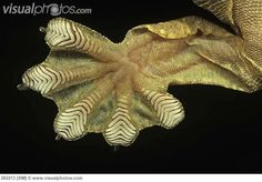 Underside of Kuhl's Flying Gecko showing the scales making for vastly increased contact with surfaces. It's thought that van der Waals force account for their ability to hold onto even slick surfaces with one toes!