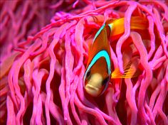 Anemone fish (Amphiprion clarkii)