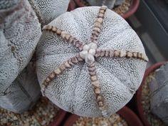 Astrophytum onzuka .