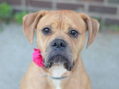 TO BE DESTROYED - 11/19/14 Brooklyn Center My name is ROSIE. My Animal ID # is A1020511. I am a female tan and white amer bulldog mix. The shelter thinks I am about 3 YEARS old. I came in the shelter as a STRAY on 11/13/2014 from NY 11433, owner surrender reason stated was STRAY. For more information on adopting from the NYC AC&C, or to find a rescue to assist, please read the following: http://urgentpetsondeathrow.org/must-read/