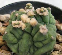 Gymnocalycium mihanovichii MONSTROSE Rare Not Aztekium Cactus Succulent