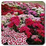 Organic Electron Mix Sweet William