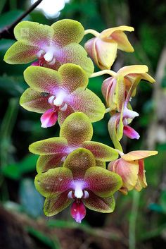 It looks like it's glowing!  Green and red orchids, Sepilok, Sabah, Borneo, Malaysia | Flickr - Photo Sharing!
