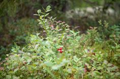 Lingonberries, ready for picking. Go ahead, help yourself to some truly organic superfood.