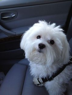 Baxter is NOT just a dog! White Puppies, White Dogs, Dogs And Puppies, Doggies, Teacup Maltese, Maltese Dogs, Maltese Poodle, Perro Shih Tzu, Animals And Pets