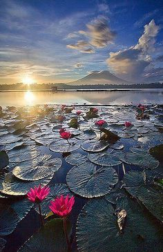 Pink Water Lilies catch the glow of Sunrise in Sampaloc Lake, Laguna, Phillippines