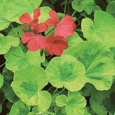 """Pelargonium (Geraniums) can be propogated from cuttings at least 4"""" long, taken from a split at the node. It will grow roots in water or, when dipped in rooting hormone, in potting soil."""