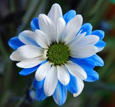 #Flowers | #flower | #Gerbera Daisy blue & white refreshing!