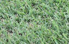 Nara Native Turf (Zoysia variety)