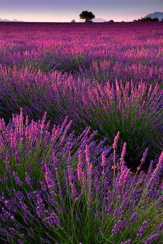 Lavender Field at Dusk, France. #lavender #lavenderfield #dusk #france #europe #continents #travel