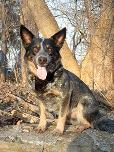 Blue Heeler | Australian Cattle Dog | Abe I Love Dogs, Puppy Love, Boston Terrier Names, Blue Dog, Australian Cattle Dog, Its A Wonderful Life, Working Dogs, Best Dogs, Dog Breeds