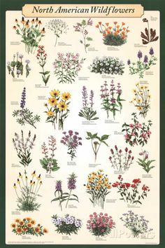 North American Wildflowers Educational Science Chart Poster Print at AllPosters.com