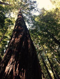 Redwood, Lompico, CA.