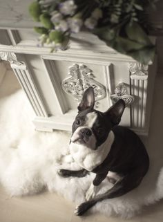 FurnituRenascence Boston Terrier, Dogs, Animals, Furniture, Boston Terriers, Animales, Animaux, Pet Dogs, Doggies
