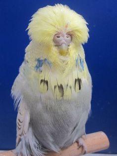 English Budgerigars Daniel Lütolf Switzerland Kinds Of Birds, All Birds, Love Birds, Beautiful Birds, Animals Beautiful, Colorful Parrots, Colorful Animals, Colorful Birds, English Budgie