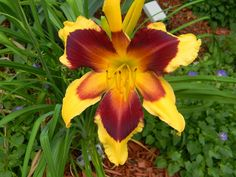 Daylily (Hemerocallis 'Indian Sky') uploaded by mattsmom Colorful Plants, Cactus Plants, Garden Plants, Daylily Garden, Iris Flowers, Day Lilies, Flowering Trees, Amazing Flowers, Horticulture