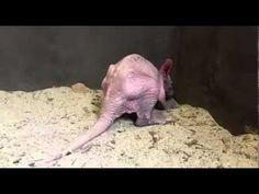 Aardvark - ZooBorns