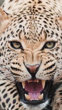 leopard, predator, face, teeth, aggression