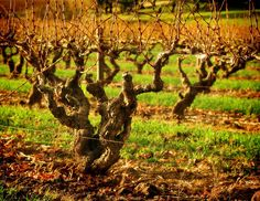 Old mature vines - The Barossa Valley is one of Australia's major wine regions in South Australia, north of Adelaide. Three major towns in the Barossa are Tanunda, Angaston and Nuriootpa. The Barossa Valley is mainly known for its red wine production.