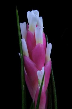 Airplant/Tillandsia montana