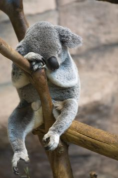 "earth-song: ""Sleep Koala by ~Jay-Co"""
