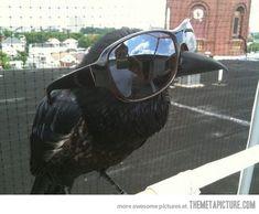 One cool corvid