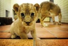 cute baby lions - Google Search