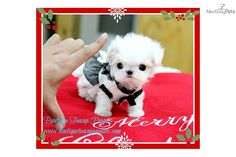 You'll love this Female Maltese puppy looking for a new home.