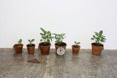 INDIGO at IKO IKO The new IKO IKO store looks so beautiful! Go visit and check out the indigo plants up close: 931 N. Fairfax http:. Indigo Plant, Agriculture, Planter Pots, Pretty, Green, Plants, Boro, Shibori, Japanese