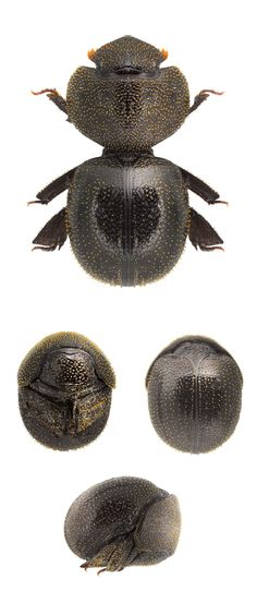 Pterorthochaetes cribricollis
