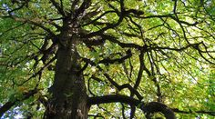 GMO trees for sequestering more carbon?