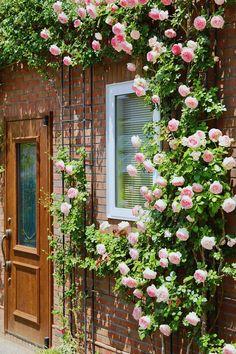 「私の庭・私の暮らし」毎日眺める景色を家づくりのテーマにした群馬県・W邸 – GardenStory (ガーデンストーリー) Thornless Climbing Roses, Rosarito, Narrow Garden, Garden Drawing, Rose Trees, Beautiful Flowers Wallpapers, Rose Cottage, Garden Styles, Garden Planning