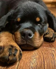 Rottweilers, Puppies, Dogs, Animals, Cubs, Animales, Animaux, Rottweiler, Pet Dogs
