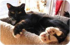 9/26/16 SL- Penndel, PA - Domestic Shorthair. Meet Q-tip, a cat for adoption.    Rescue Group: Bingo's Foundation     Pet ID #: 1407030     Contact: Eleanor Shaknitz     Phone: (215) 781-0378     E-mail:     shakcat@verizon.net     Website:     http://bingosfoundation.petfinder.org     Address:     Bingo's Foundation     Penndel, PA 19047   http://www.adoptapet.com/pet/2372576-penndel-pennsylvania-cat