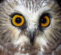 Northern Saw-whet Owls » Photo Gallery