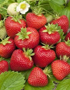 Lovely flavour in strawberries in Scandinavia. Edible Plants, Edible Garden, Fruit And Veg, Fruits And Vegetables, Finnish Cuisine, Finland Food, Finland Summer, Vegetable Pictures, Finnish Recipes