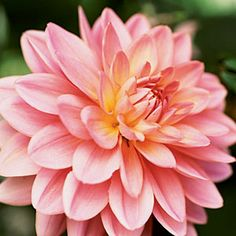 Dahlia care - including how to lift and store the tubers over winter