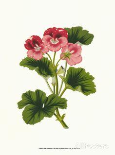 Pink Geranium I Print by Van Houtt at AllPosters.com