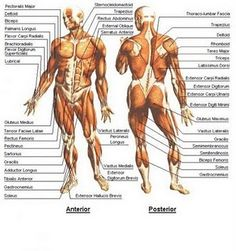 muscle human anatomy | anatomy and physiology | pinterest | human, Muscles