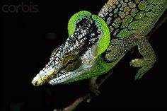 Chameleons, Lizards, Crocodile, Origami Fish Easy, Vertebrates, Geckos, Reptiles And Amphibians, Zoology, Natural World