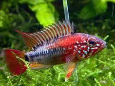 Resultado de imagen para peces tropicales de acuario