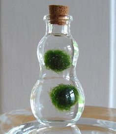 These zen  Marimo moss balls are actually an algae that originates from a lake in Japan. They thrive happily with very little care — just leave them in indirect sunlight, change the water every couple of weeks, and gently swish the container from time to time.
