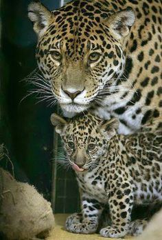 A Jaguar cub stands next to its baby Animals Animals Animals And Pets, Baby Animals, Cute Animals, Wild Animals, Beautiful Cats, Animals Beautiful, Beautiful Family, Big Cats, Cats And Kittens