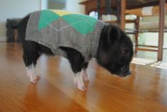 A black teacup pig wearing a grey and mint green, and yellow argyle sweater.