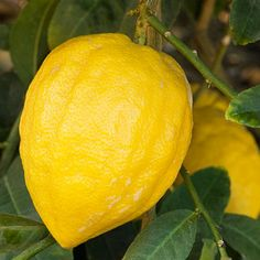 Citrus Trees You Can Grow