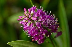 Native shrub to NZ. Cultivar from Hebe speciosa, New Zealand (NZ) stock photo. Quality New Zealand images by well known photographer Rob Suisted, Nature's Pic Images.