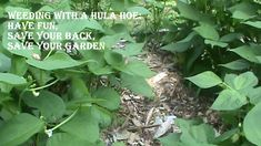Organic Gardening:  Weeding With a Hula Hoe -- Save Your Back, Save Your...