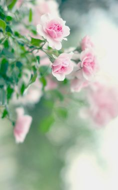 Captivating Why Rose Gardening Is So Addictive Ideas. Stupefying Why Rose Gardening Is So Addictive Ideas. My Flower, Pretty Flowers, Rose Cottage, Flower Wallpaper, Beautiful Roses, Pink Roses, White Roses, Pastel Roses, Planting Flowers