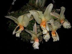 Stanhopea intermedia