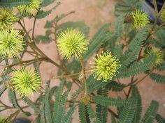 Abaracatinga / bracatinga (Mimosa rcrabella)